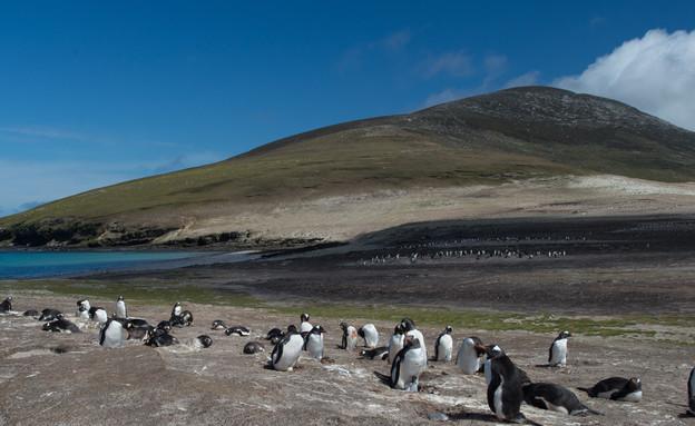 23-Penguin_colony (צילום: אבישי נועם)
