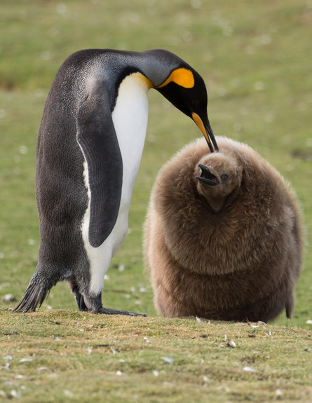6-King_penguin_and_a_chick (צילום: אבישי נועם)