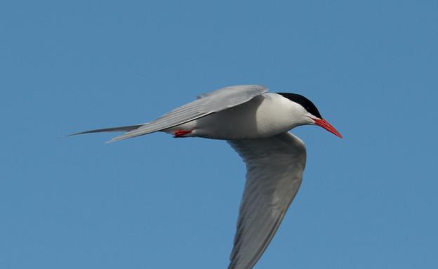 Arctic_tern (צילום: אבישי נועם)