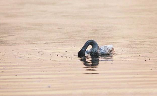 ברבור מתאבד (צילום: dailymail.co.uk)