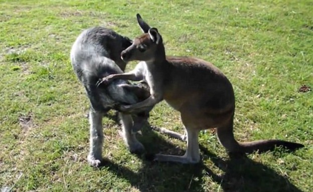 כלב וקנגרו (צילום: יוטיוב)
