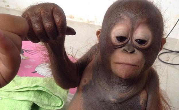 קוף מסכן (צילום: North Downs Picture Agency)