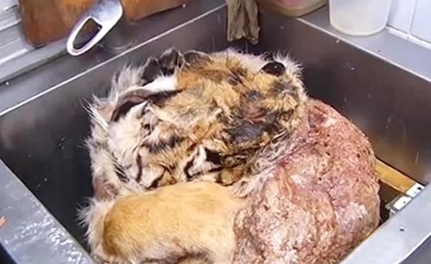 מבשלים נמרים (צילום: יוטיוב)