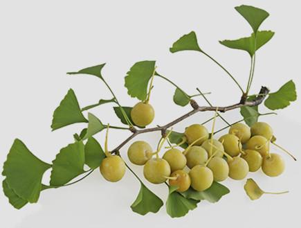 ג'ינקו,-צמחי-מרפא