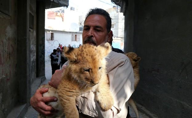 אריה בעזה (צילום: Anadolu Agency, GettyImages IL)