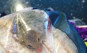 עכבר בלחם (צילום: אנדרו אודל)