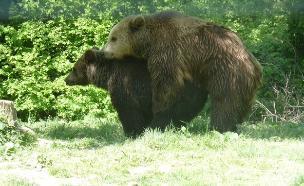 דובים רומניה (צילום:  שמעון איפרגן)