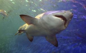 כריש בים (צילום: אימג'בנק / Thinkstock)