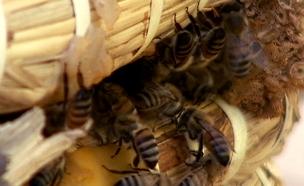 הפרויקט להצלת הדבורים (צילום: חדשות 2)