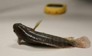 דג הולך (צילום: James Cook University)