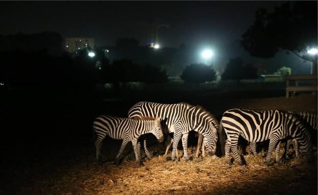 סיורי לילה, ספארי (צילום: מוטי קמחי)
