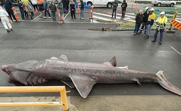 כריש ענק (צילום: מוזיאון מלבורן / ג'יימס אוון)