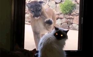 פומה, חתול,