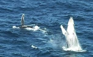 צפו בריקוד החופש של הלווייתן (צילום: רויטרס)