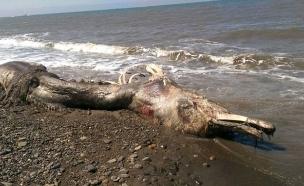 דולפין פרוותי (צילום: The Siberian Times)
