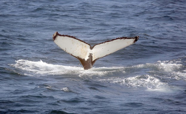 שיט צפייה בלוויתנים (צילום: סיון פרג')