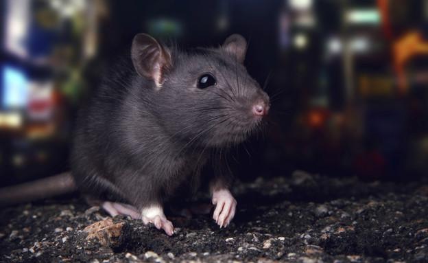 כולם חדשים העכברושים באים: החולדות מאיימות להציף את גוש דן WX-49