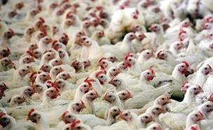 מדוע העופות לא הושמדו? ארכיון (צילום: רויטרס)