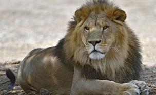 צייד האריה ססיל הפך לניצוד בעצמו (צילום: ספארי)