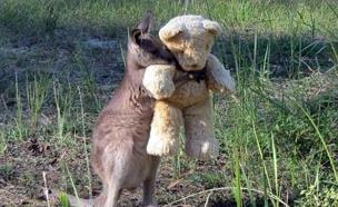 הקנגורו שהפך לכוכב עולמי