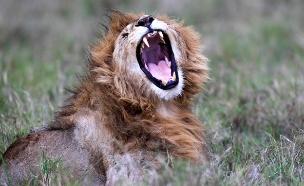 האריות נעלמים מאפריקה (צילום: רויטרס)