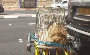 כך הכלב הובל (צילום: הילה ידידייה)