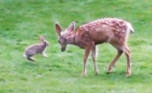 צפו: משחק התופסת של העופר והארנב (צילום: ללא)