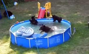 צפו: משפחת דובים שוחה בבריכה הביתית (צילום: יוטיוב)