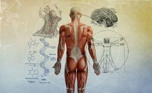 גוף האדם (איור: סטודיו mako)