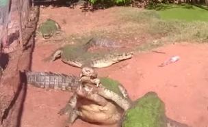 תנין אוכל רגל תנין (צילום: יוטיוב)