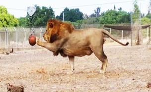 צפו באריות משתוללים (צילום: ספארי)