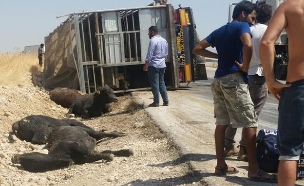 """משאית עגלים הפוכה בכביש 90 (צילום: צילום: """"ישראל נגד משלוחים חיים"""")"""