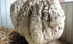 הכירו: הכבש השעיר בעולם (צילום: רויטרס)