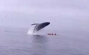 לווייתן הופך קיאק (צילום: יוטיוב)