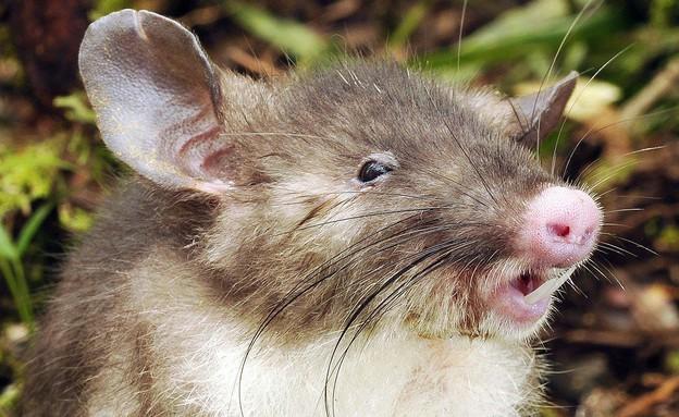 עכברוש חזיר (צילום:  Photo by Flash90, פייסבוק)