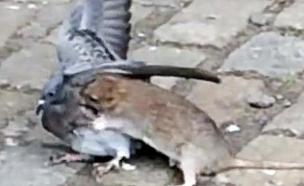 חולדה נגד יונה (צילום: יוטיוב)