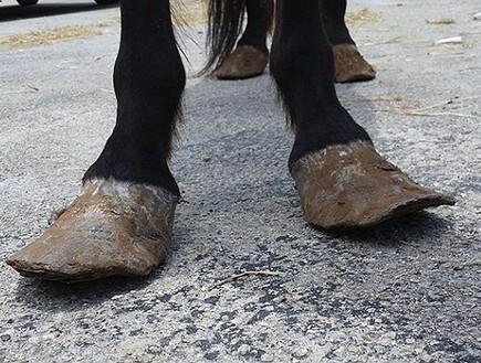 שרירנים מרעיבים סוסים (צילום: SPCA)