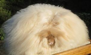 ארנבי אנגורה (צילום: Barcroft USA)
