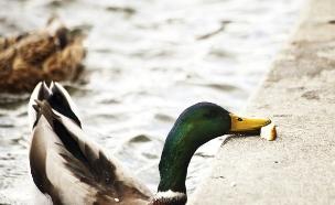 ברווז אוכל לחם (צילום: אימג'בנק / Thinkstock)
