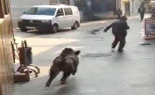 חזיר בר באיסטנבול (צילום: יוטיוב)