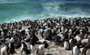 פינגווינים באיי פוקלנד (צילום: Liam Quinn, Flickr)