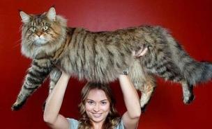 חתול ענק (צילום: טוויטר)