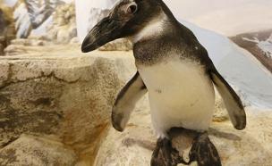 פינגווין אפריקני. רק אלפים בודדים נותרו (צילום: רויטרס)
