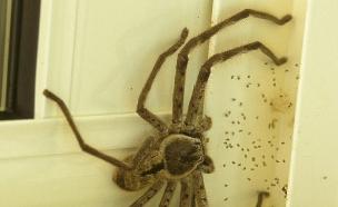 עכביש ענק (צילום: Reddit)