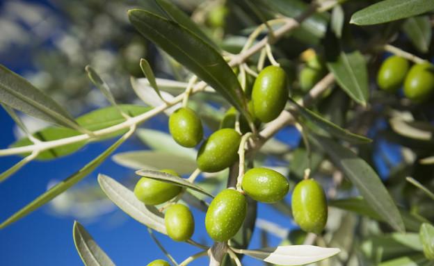 עץ זית (צילום: istockphoto)