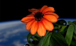 פרח הציניה בתחנת החלל