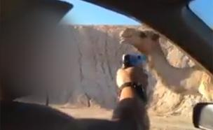 חייל יורה בגמל