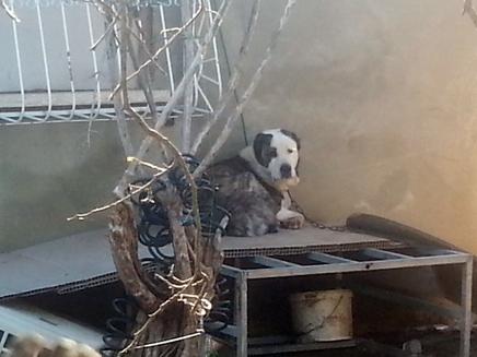 כלב בחצר בבאר יעקוב