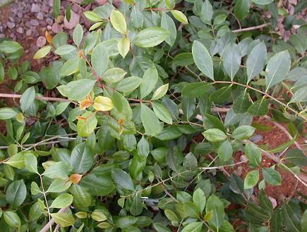 גת, צמחי מרפא