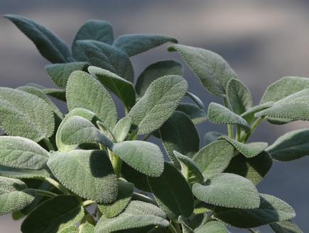 מרווה, צמחי מרפא